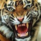 tigerfan